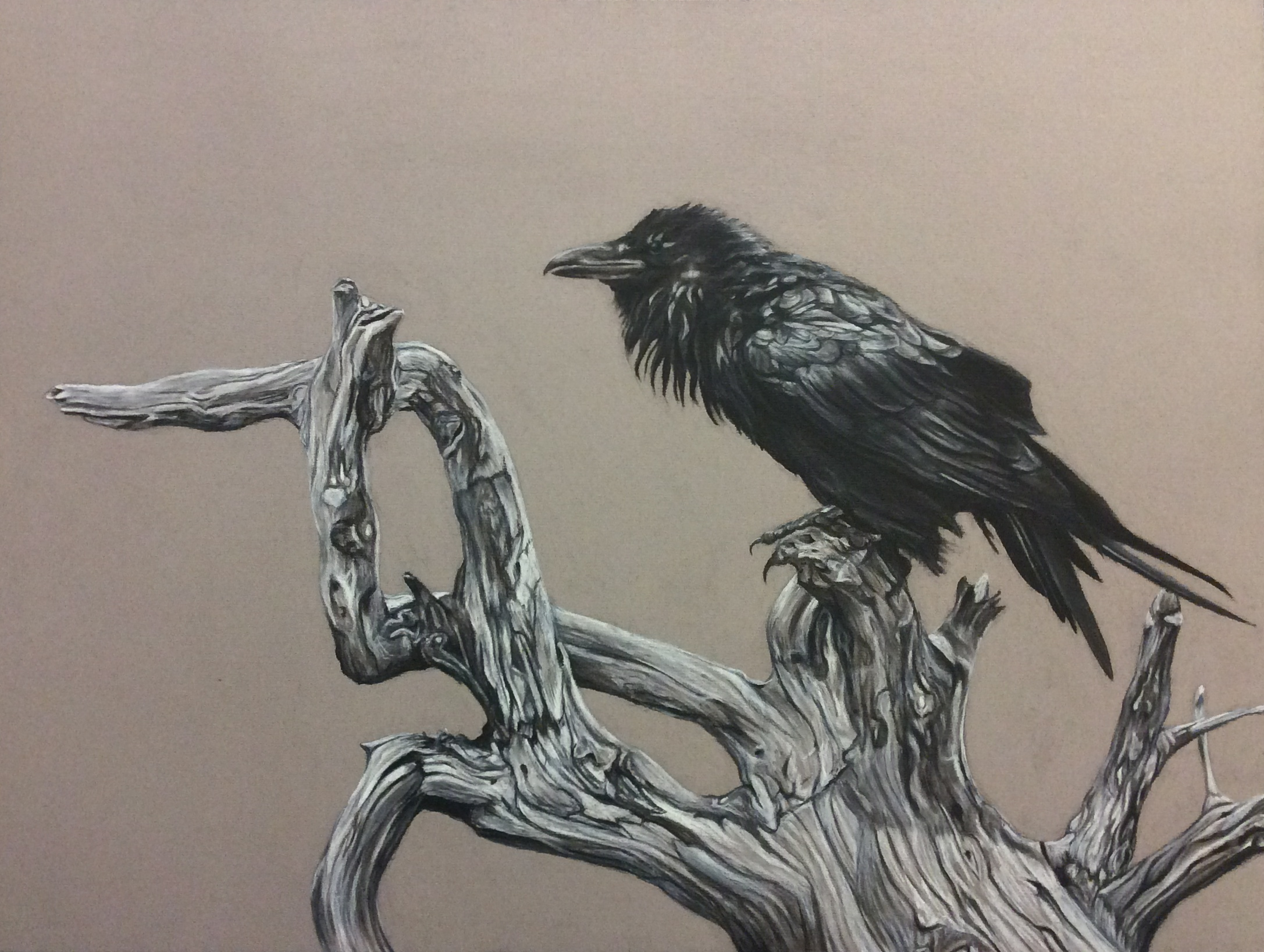 poised raven - 18 X 24charcoal and white conte on mat-board