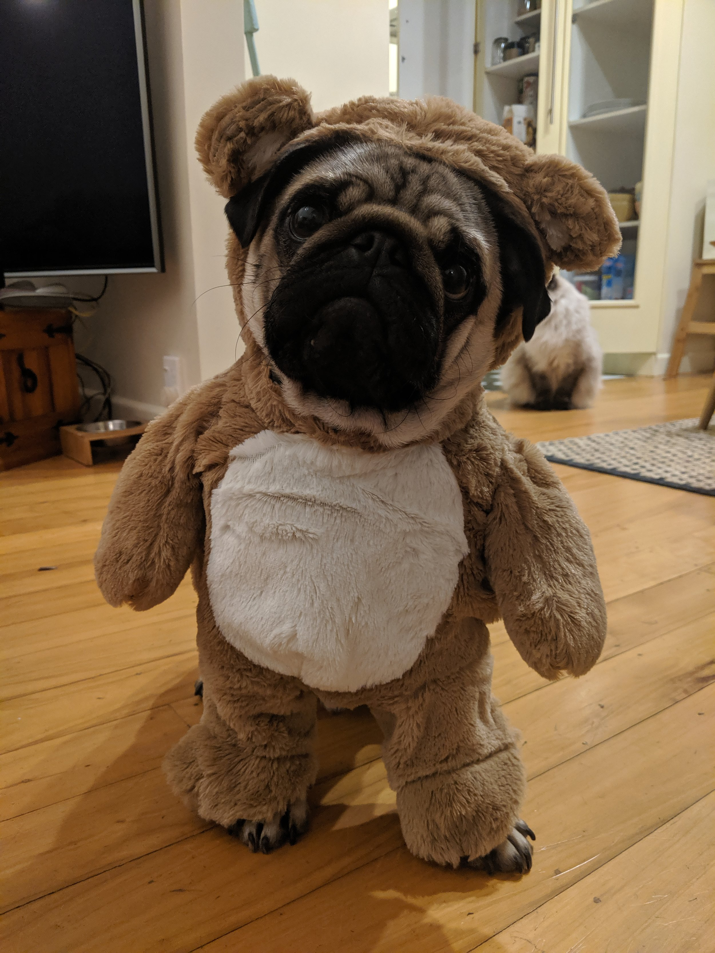 Alix's pug - Alphie wearing a bear costume