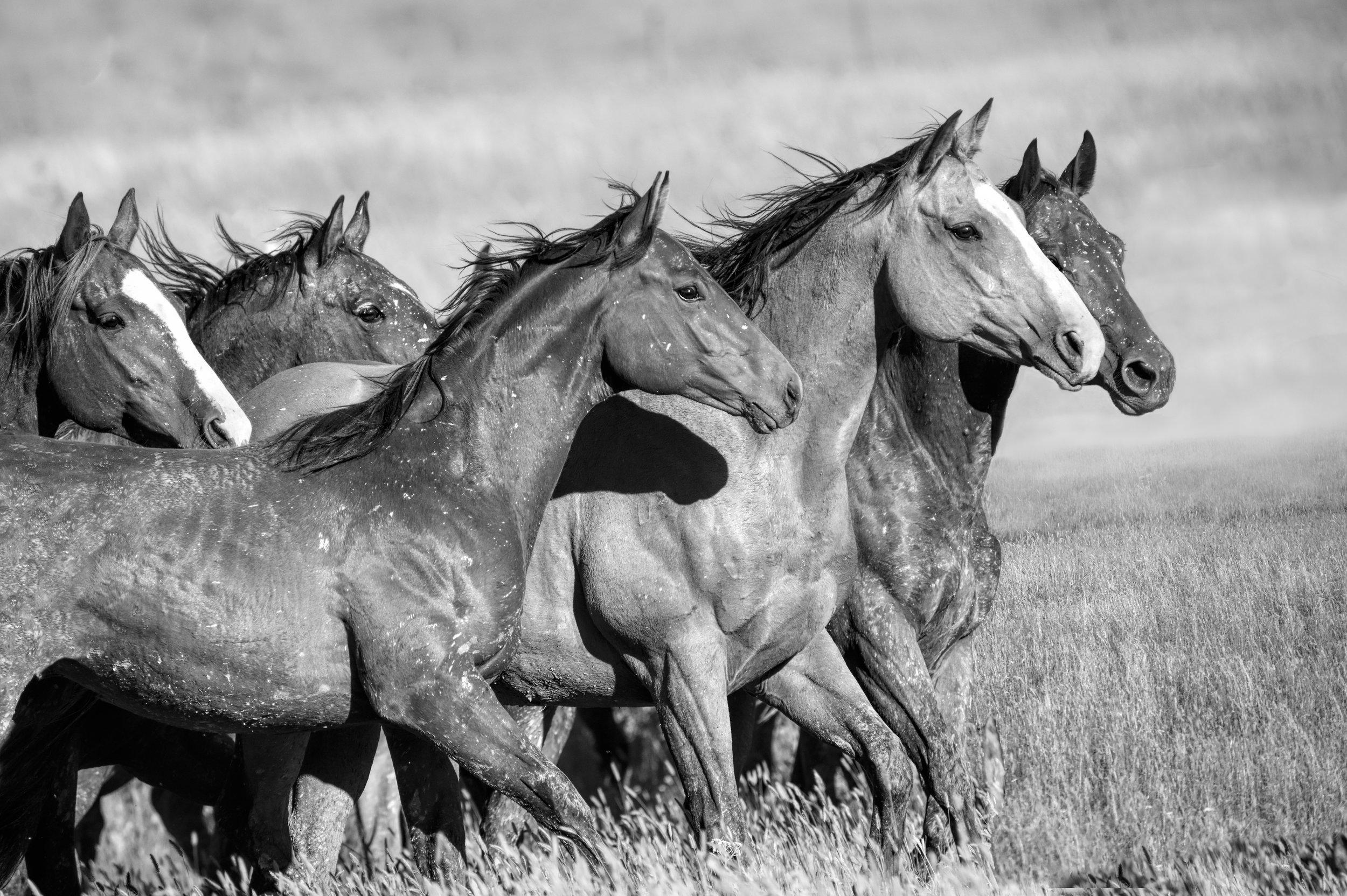 Montana Horses Ears.jpg