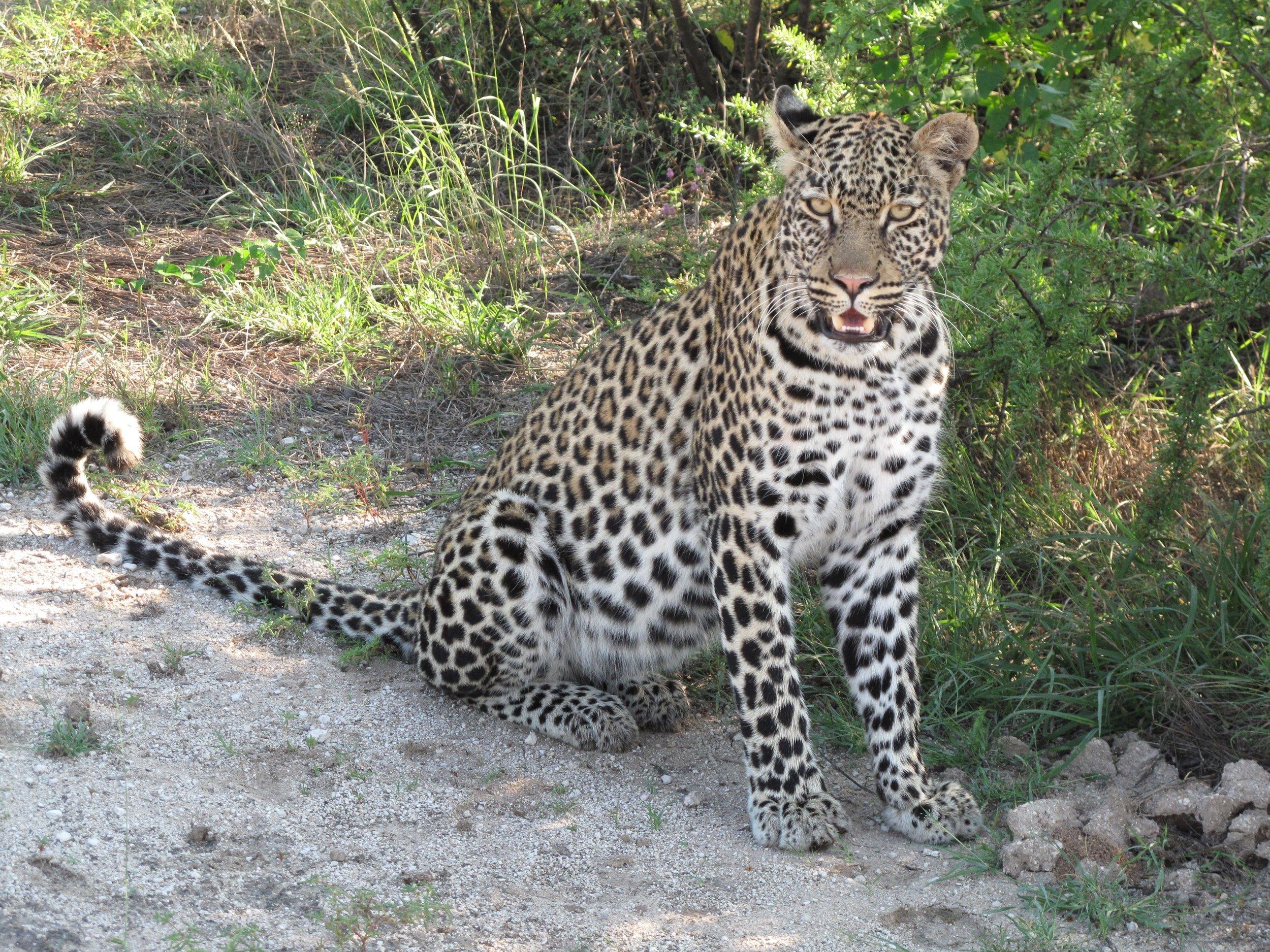Leopard 1.jpg
