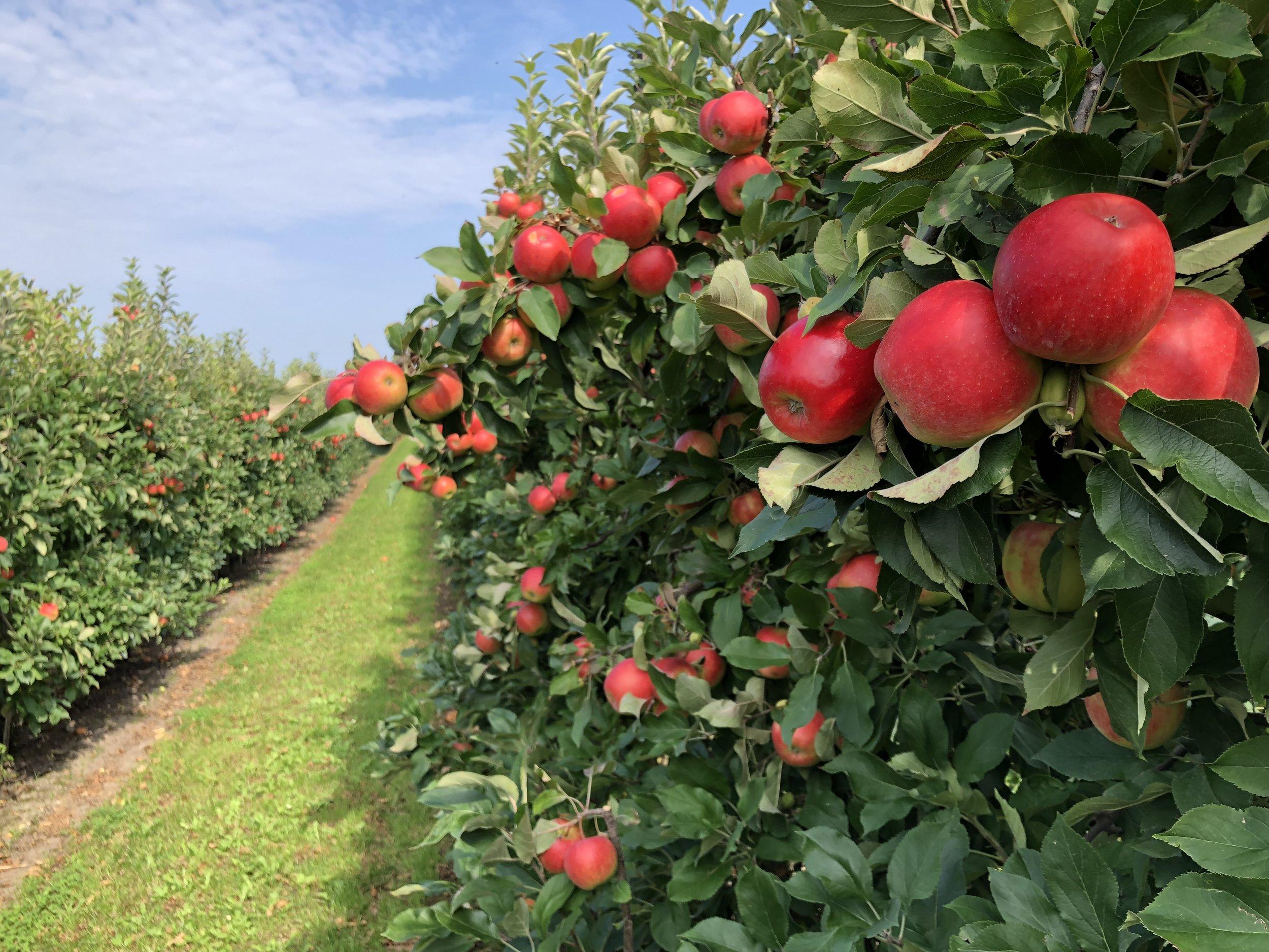 Apfelplantagen - Tourismusverein Altes Land e.V. (70).JPG