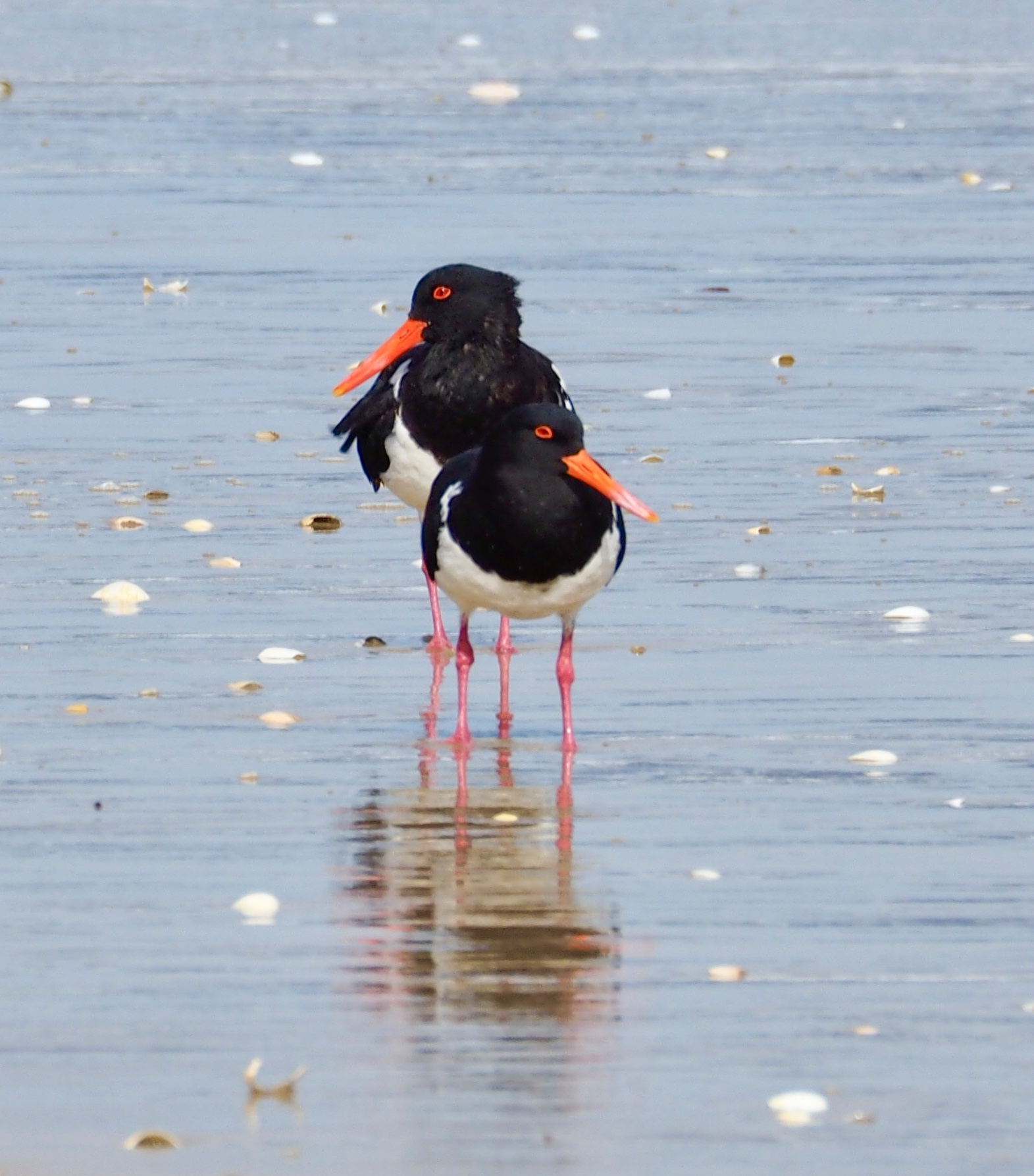 Pied Oystercatchers (1).jpeg