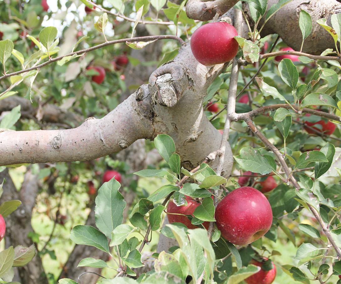 Candyapple Apple Tree2.jpg