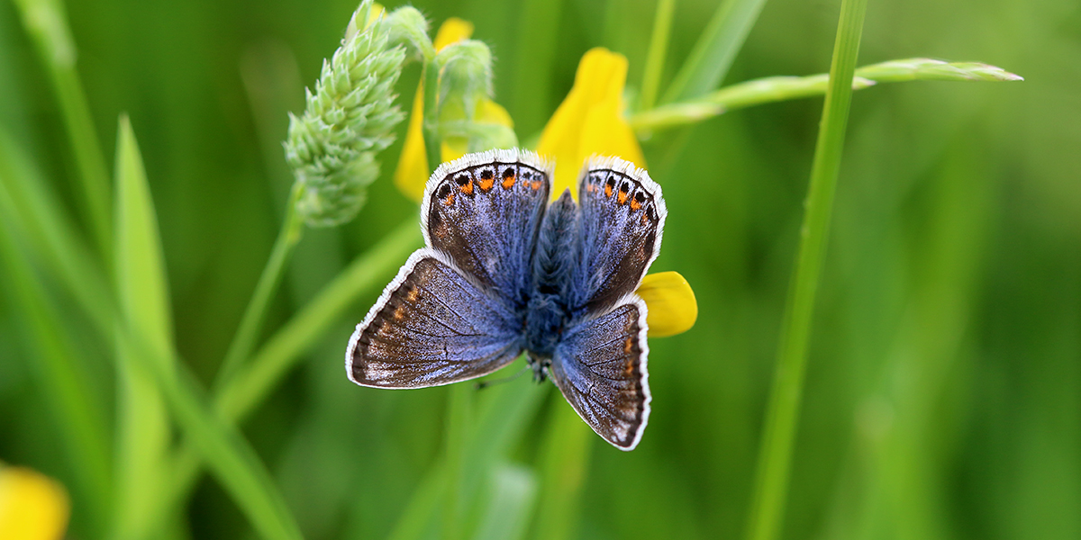 Common blue butterfly (Chris Harris)