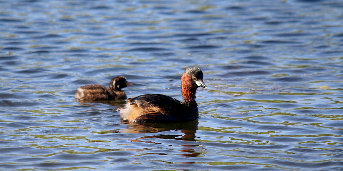 Little grebe (Chris Harris)