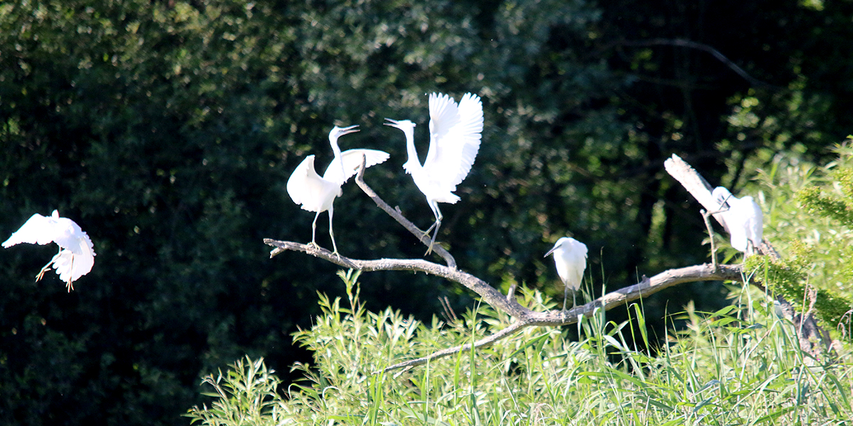 Little egrets (Chris Harris)