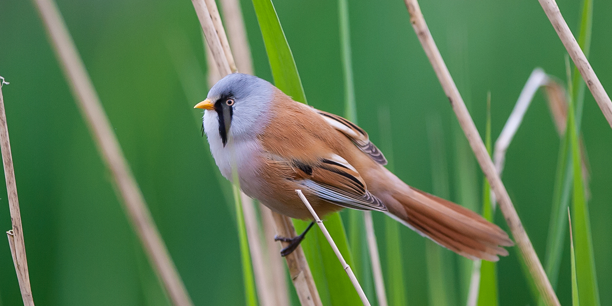 Bearded tit (Tony Smith)
