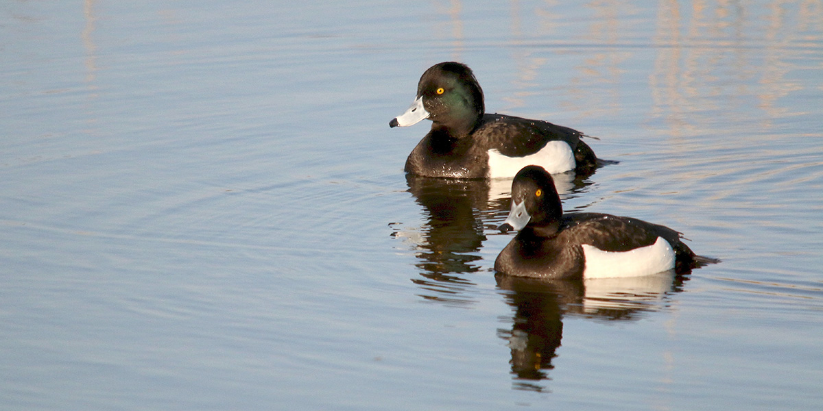tufted ducks.jpg