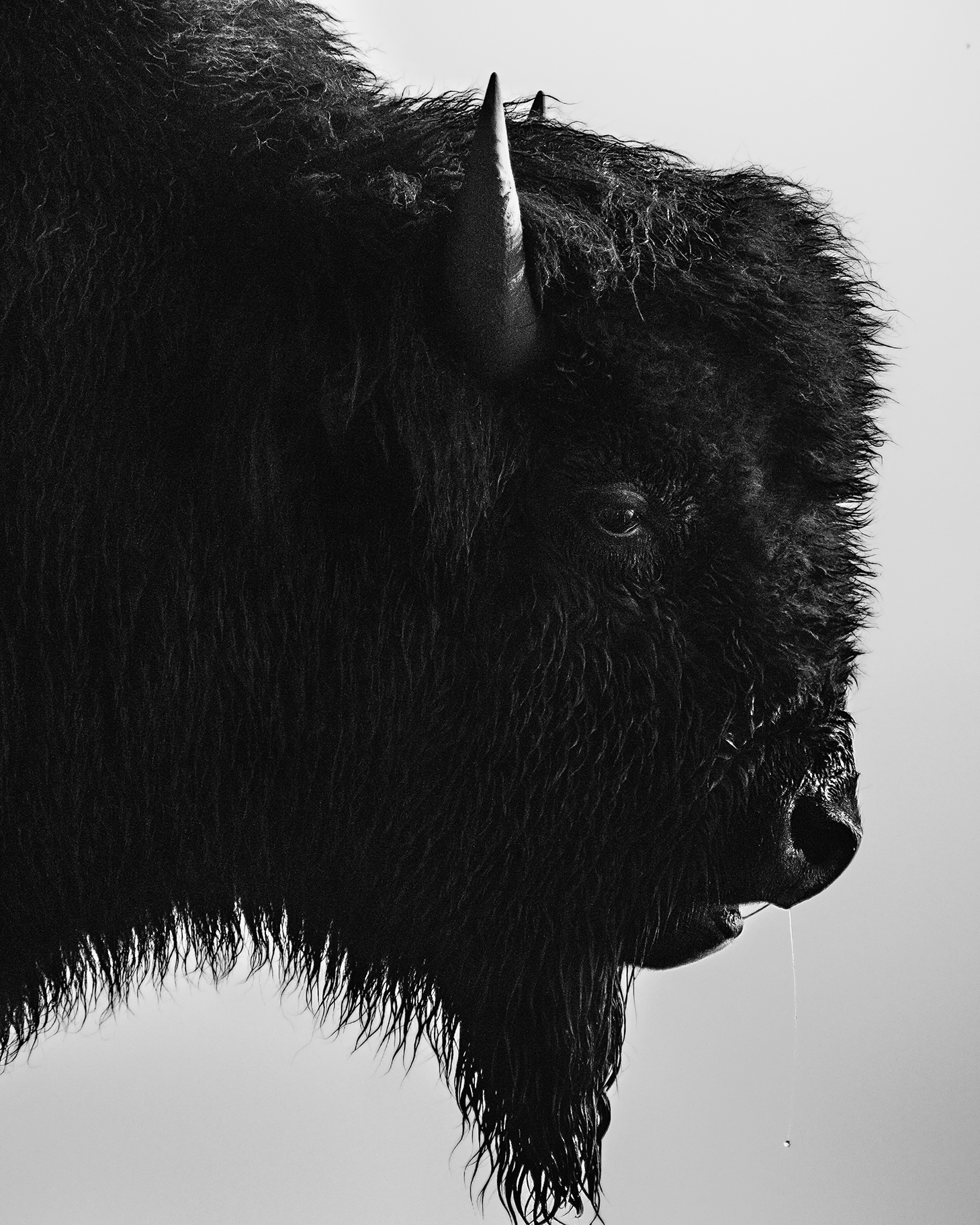 Bison  Yellowstone National Park, MT 2017