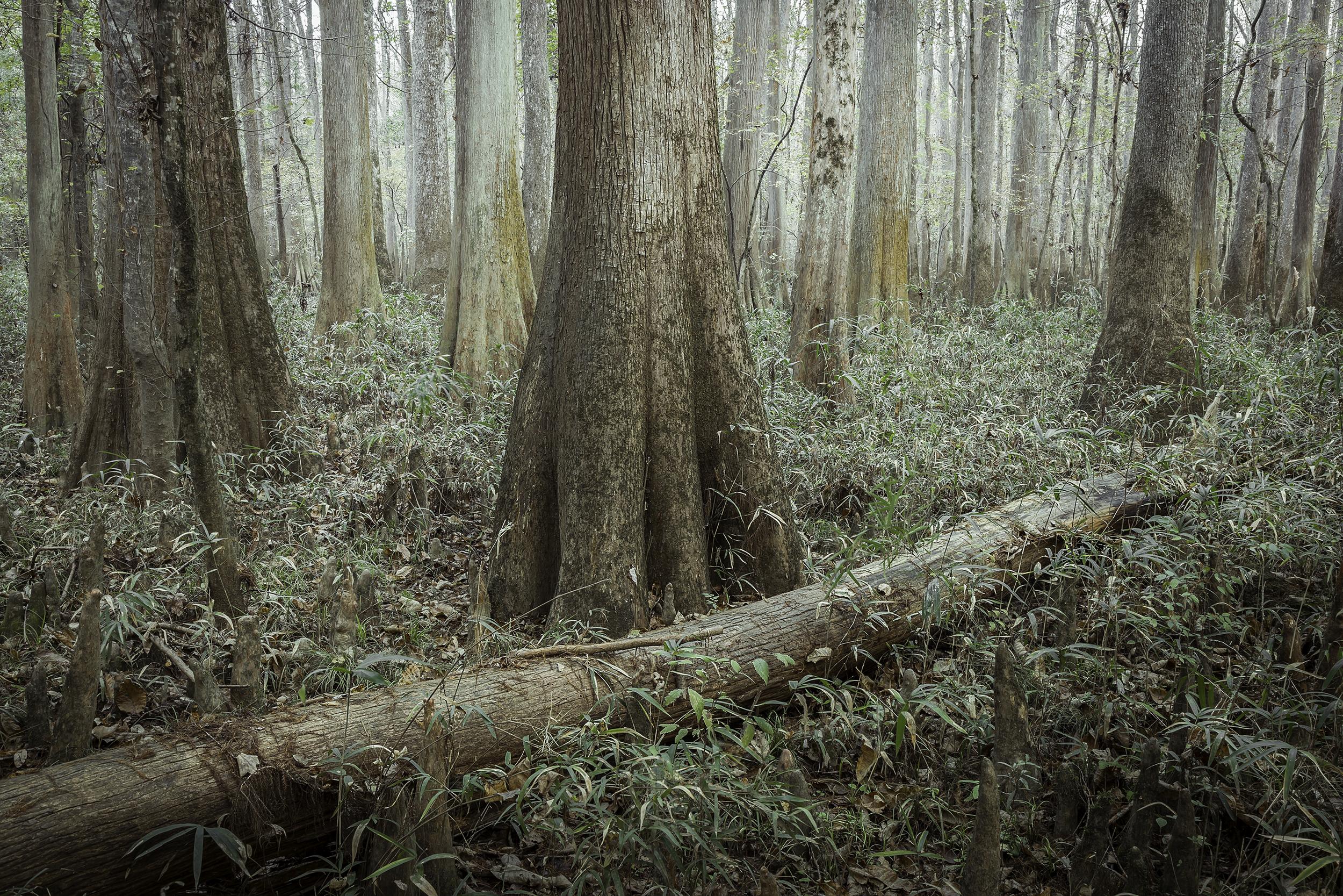 Fallen Cypress  Congaree National Park, SC 2017