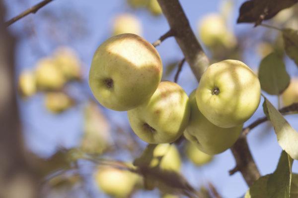 apple-tree-600x400.jpeg