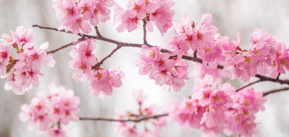 cherry-blossoms-2.jpg