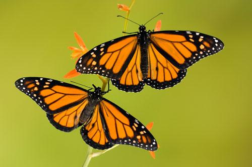 2butterflies.jpg