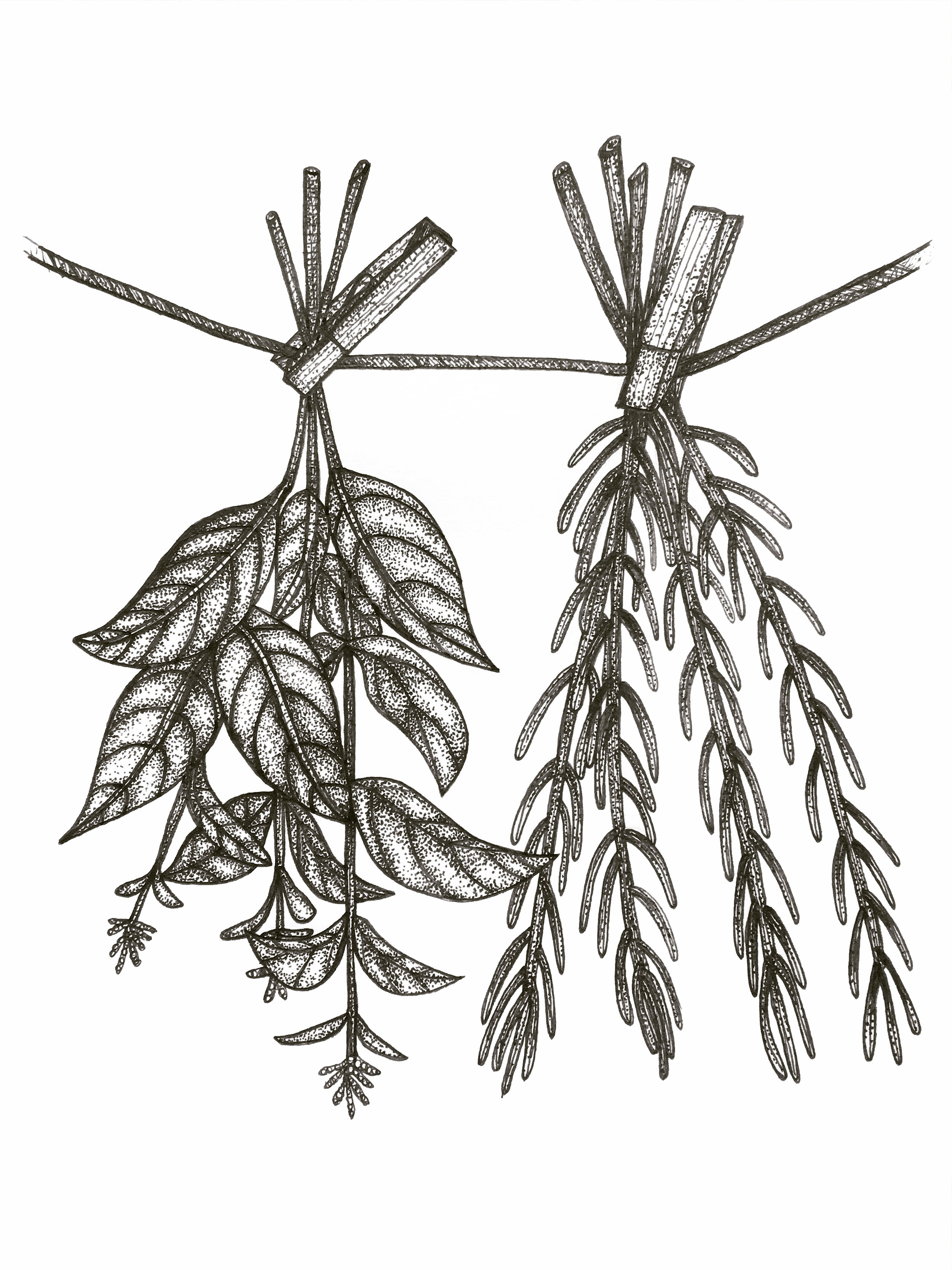 Drying herbs illustration from a project I am working on with Lynn.