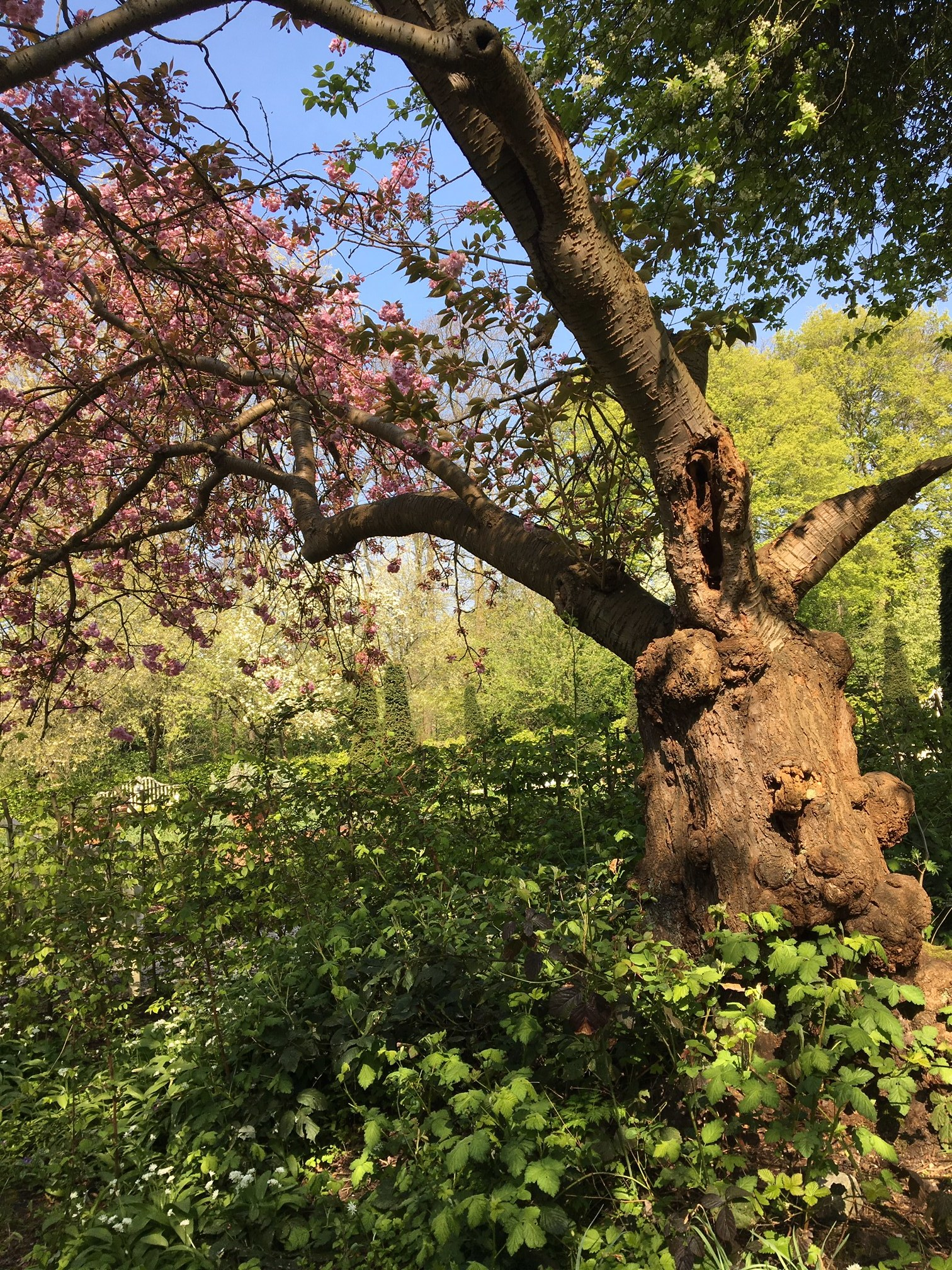 A blossom tree in one of the River of Herbs orchards in park Frankendael.