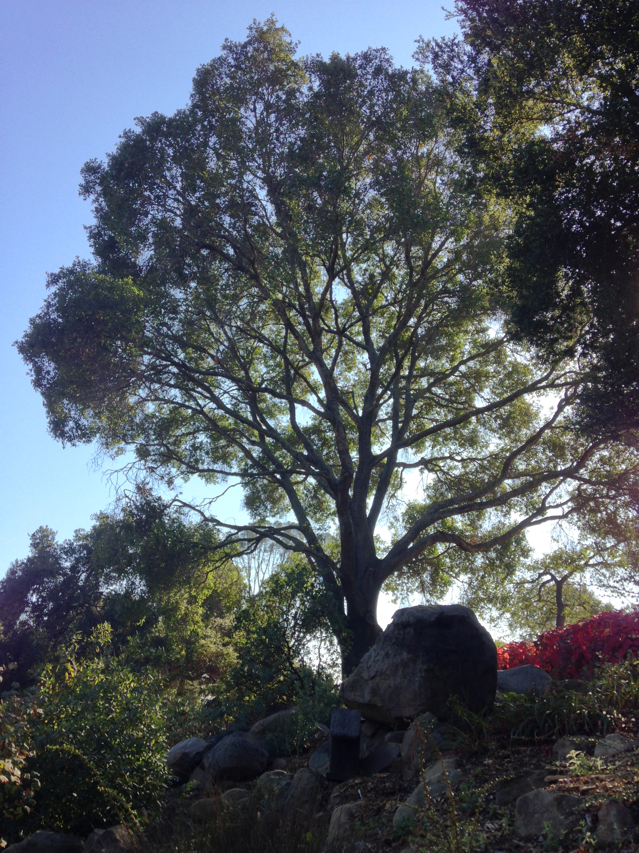 Hybrid Oak - Coast Live Oak x Black Oak