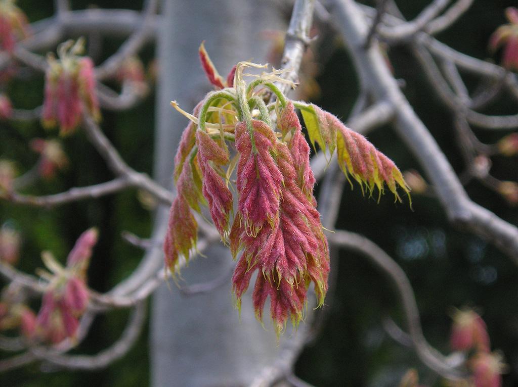 Shumard-Oak-New-Growth-Fall-Leaf-Color.jpg