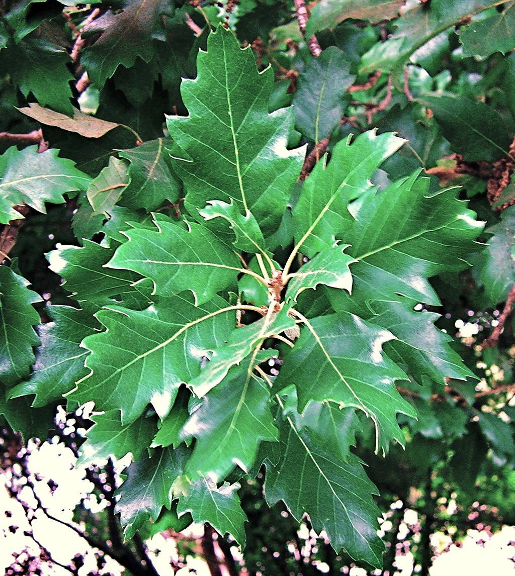 Laucombe's-Oak-(Q.-suber-x-cerris).jpg