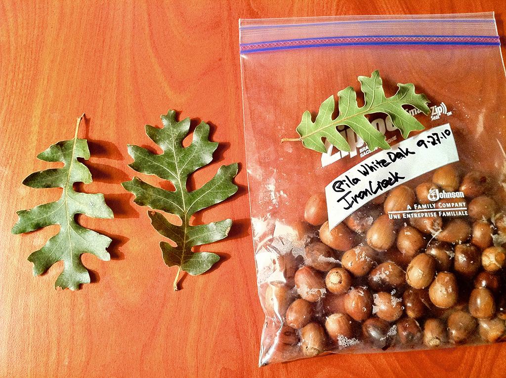 Gila-Wht-Oak-Acorns.jpg