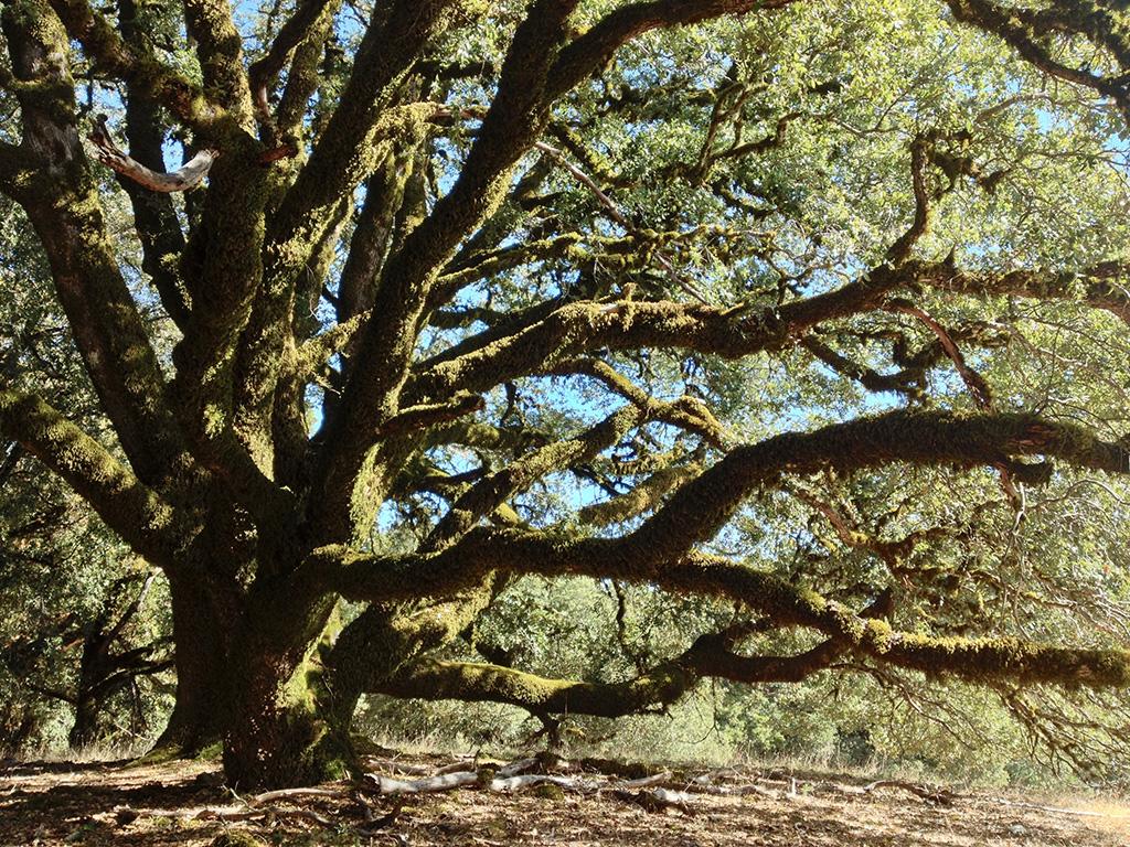 Canyon Live Oak