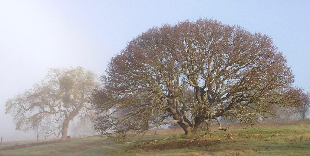 Blue Oak and Valley Oak