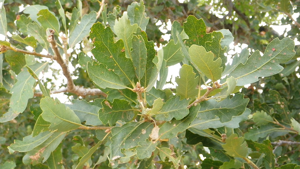 Jolon Oak