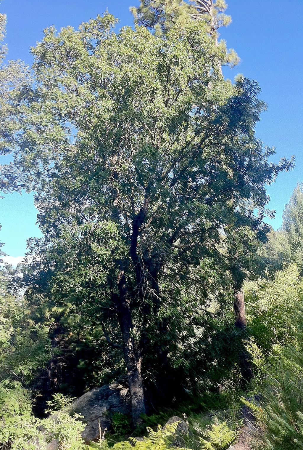 Mount Lemmon White Oak
