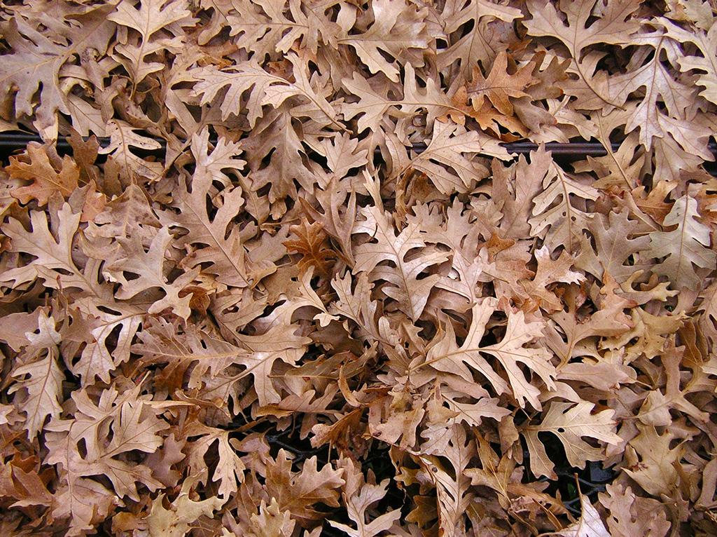 Hybrid Oak - Gambel Oak x Bur Oak