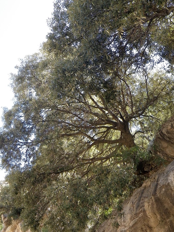 Silverleaf Oak