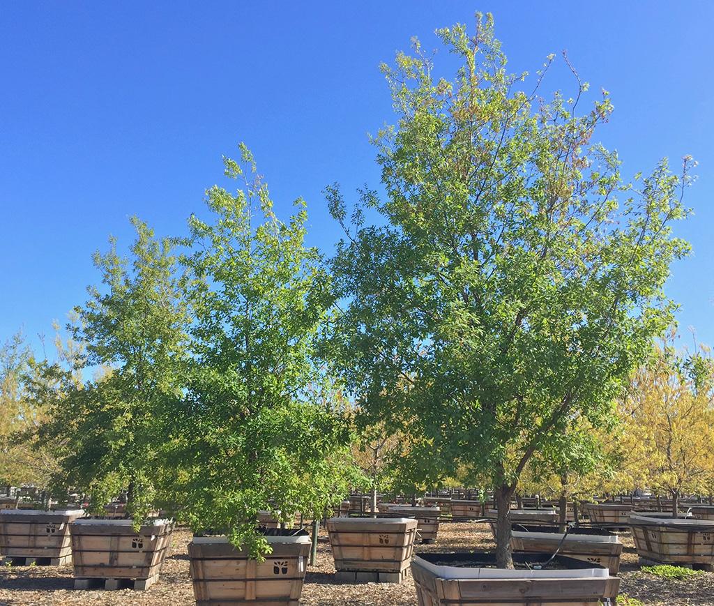 Lacey Oak