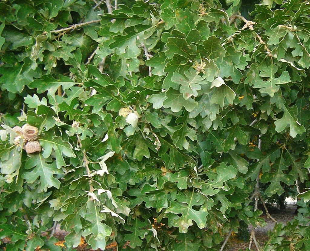 Hybrid Oak - Bur Oak x Valley Oak