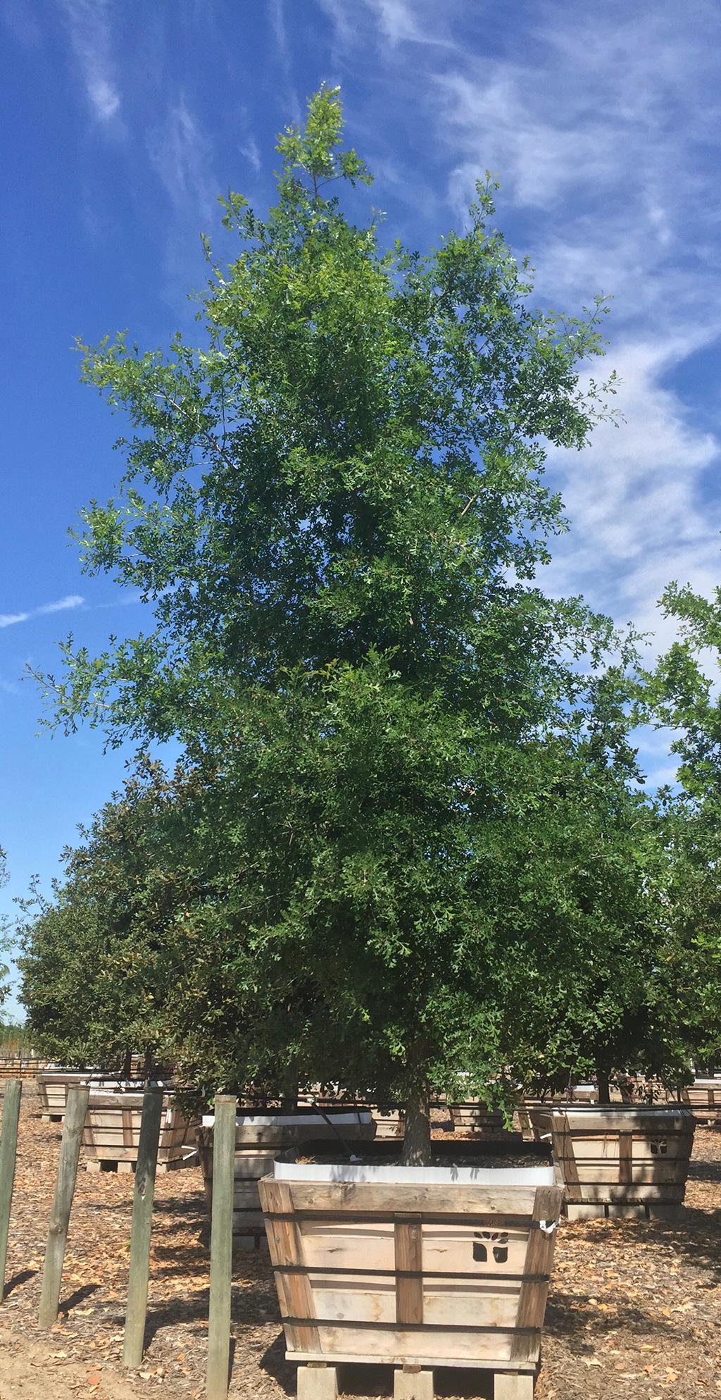 Hybrid Oak - Bur Oak x English Oak x Valley Oak