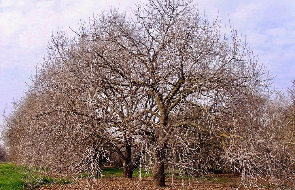 Hybrid Bur Oak