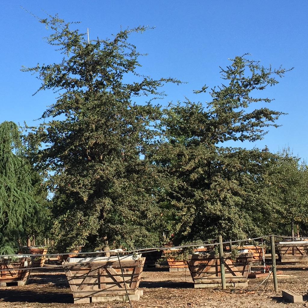 Mexican Live Oak