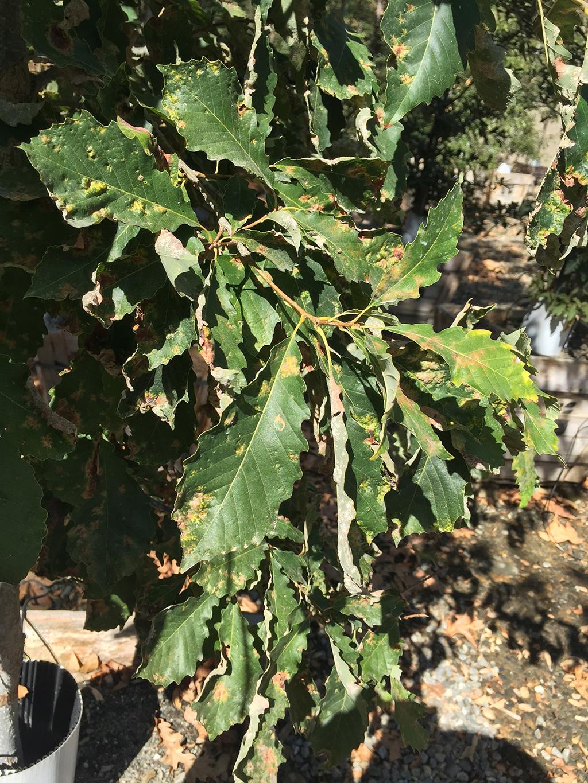 Chinkapin Oak - Common Form