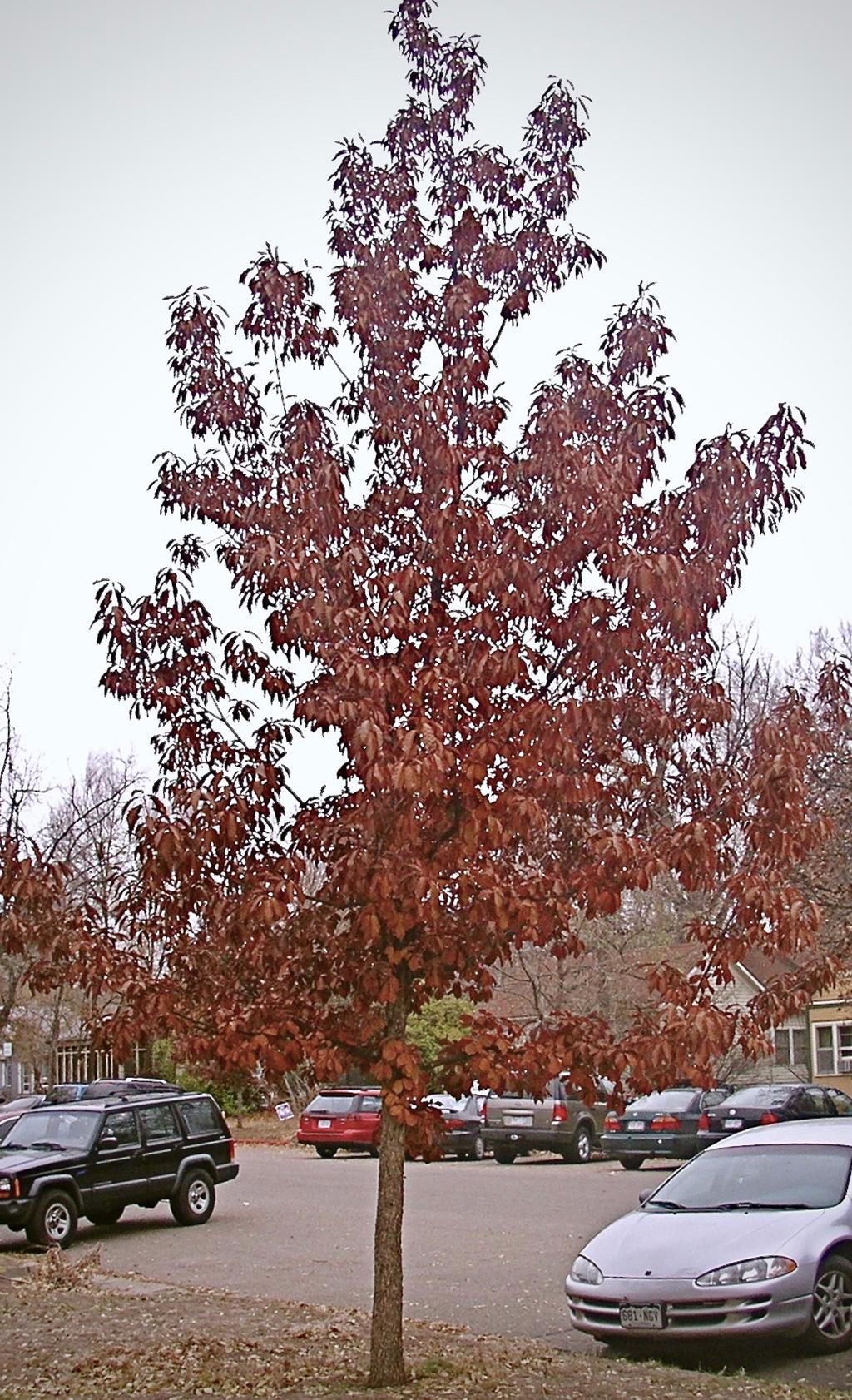 Chinkapin Oak - Southwestern Form