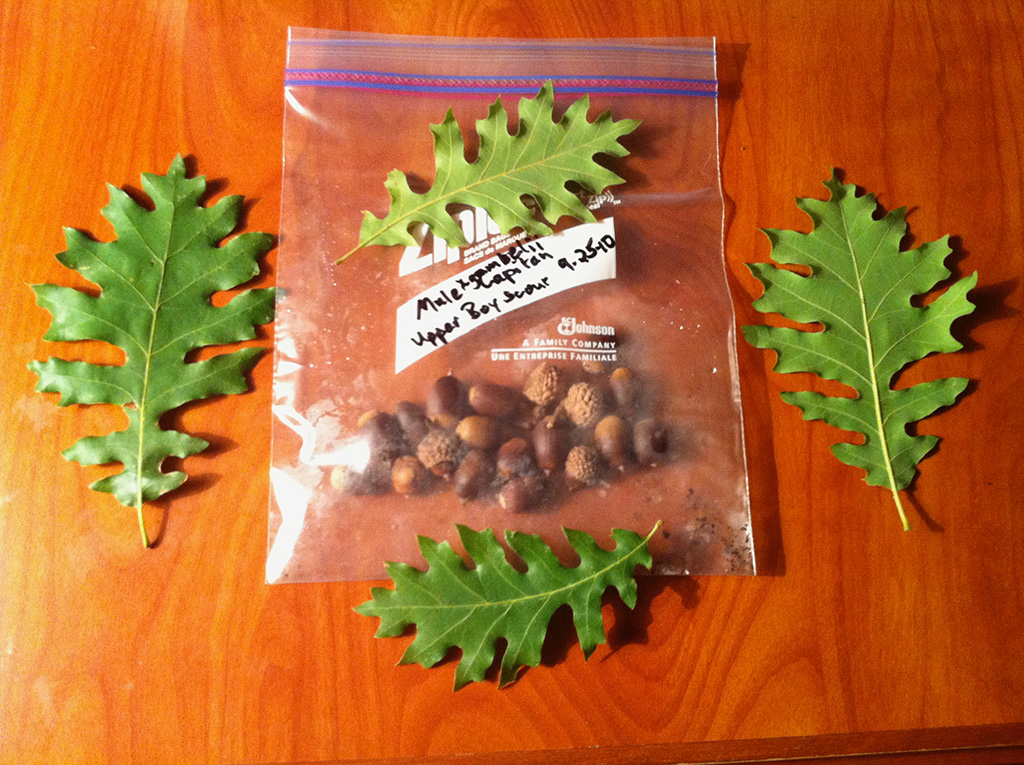Natural Hybrid Oak - Bur Oak x Gambel Oak x ?