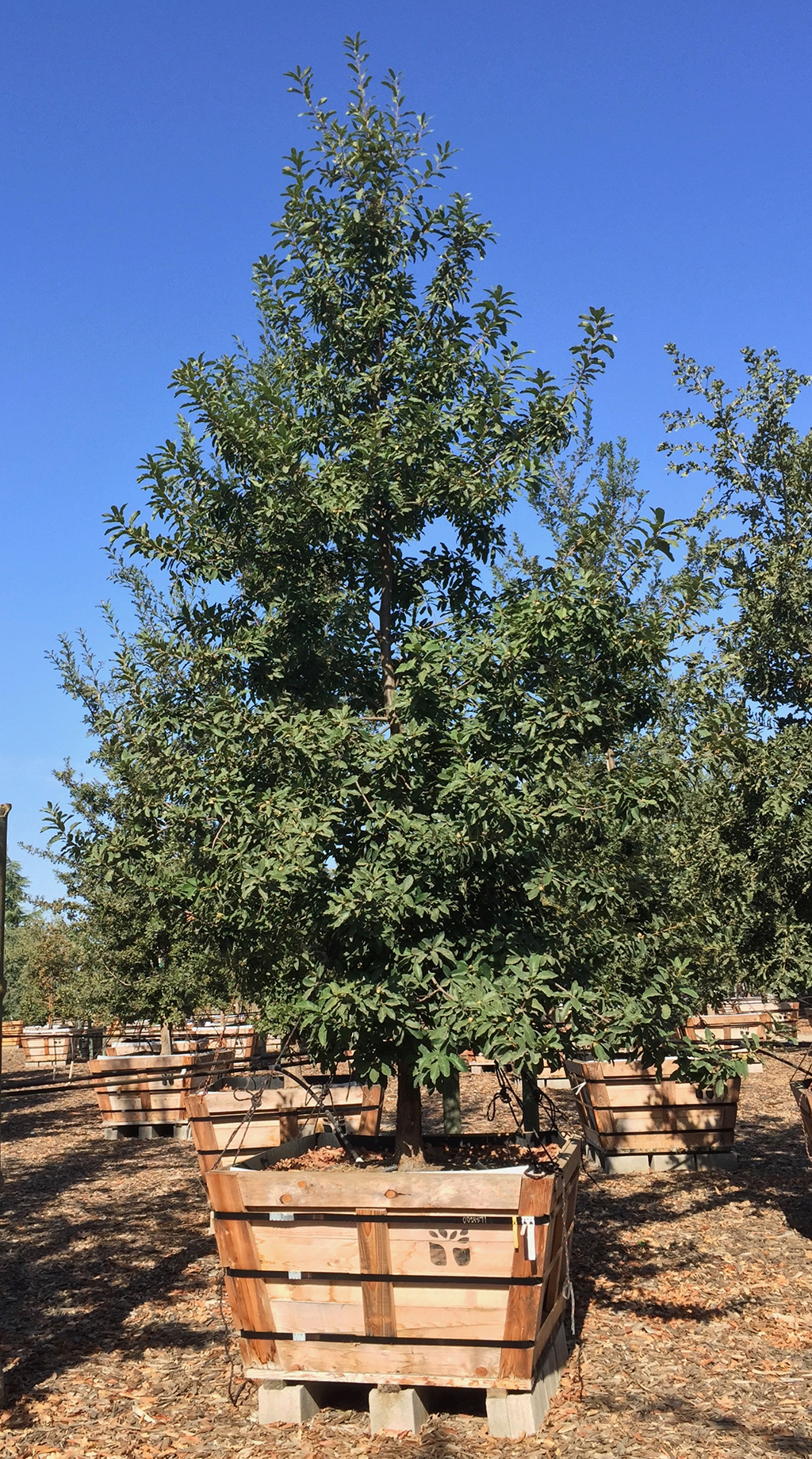 Hybrid Oak - Monterey Oak x White Oak