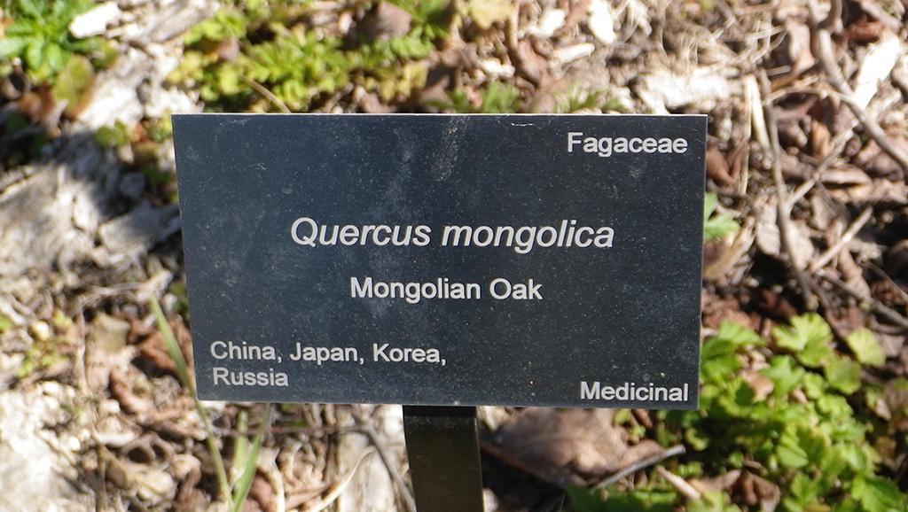 Mongolian Oak