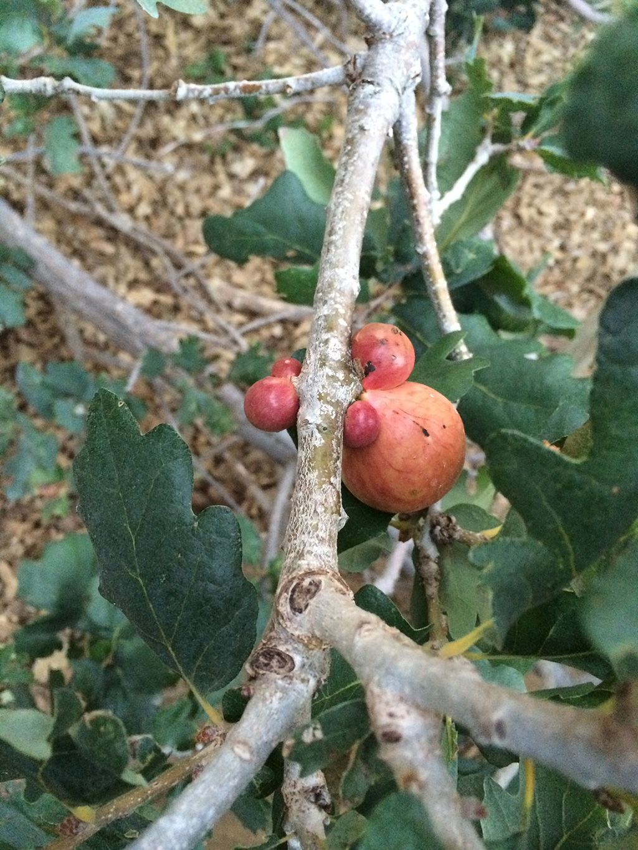 Hybrid Oak - English Oak x Blue Oak