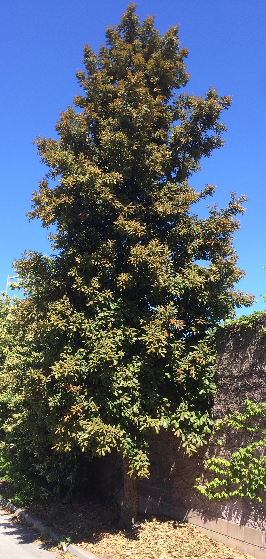 Netleaf Oak