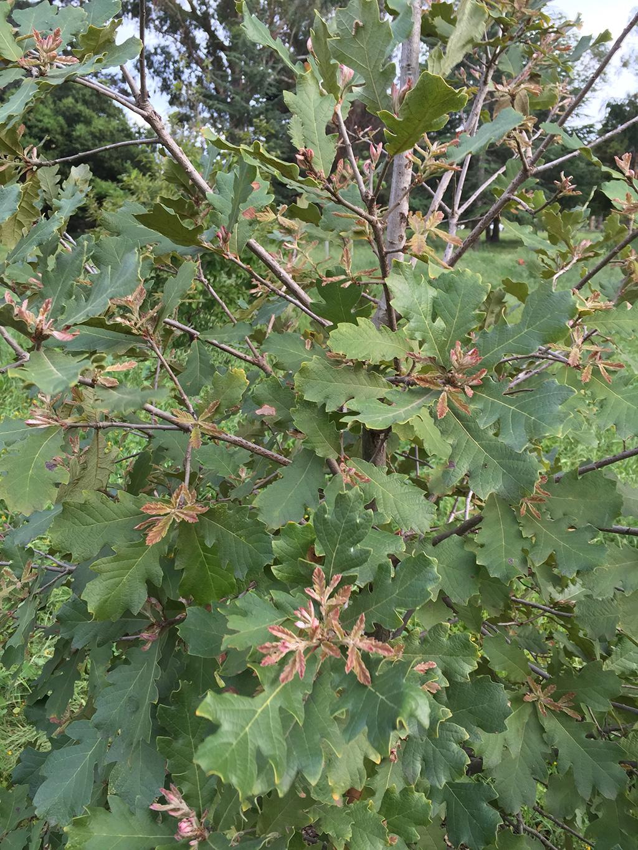 Hybrid Oak - Netleaf Oak x Bur Oak