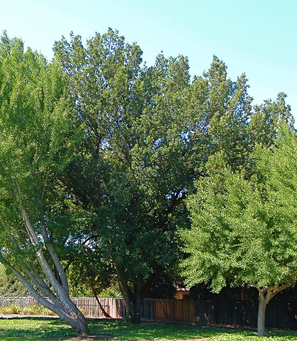 Hybrid Oak - Cork Oak x Turkey Oak