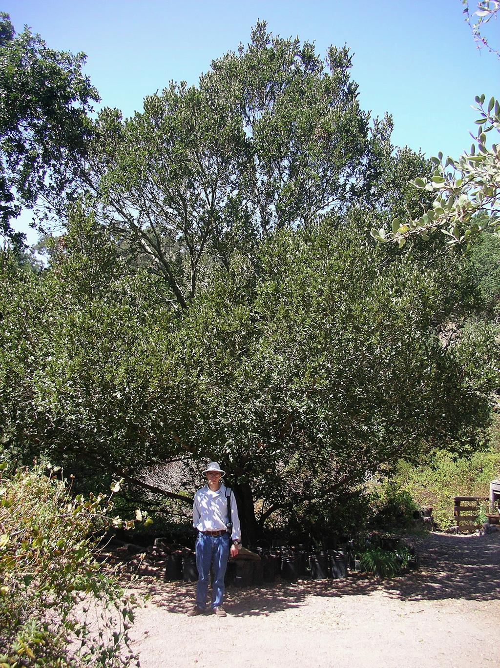 Island Oak