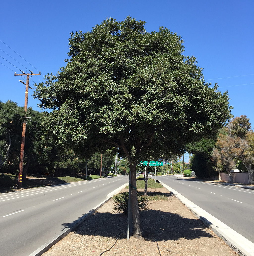 Hybrid Oak - Island Oak x Holly Oak