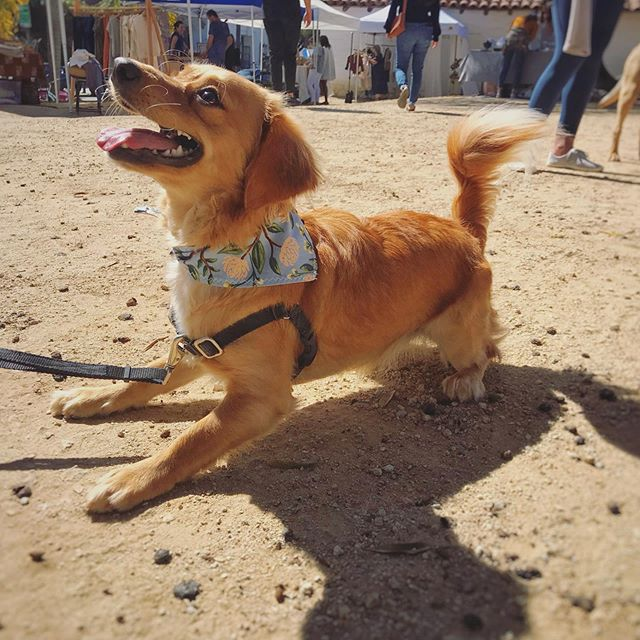 @goldie_hawn_solo is looking fly and ready to romp with her new bandana. There is still time to catch us at the Harvest Market today until 5pm. Across from Handlebar at the Santa Barbara Presidio!