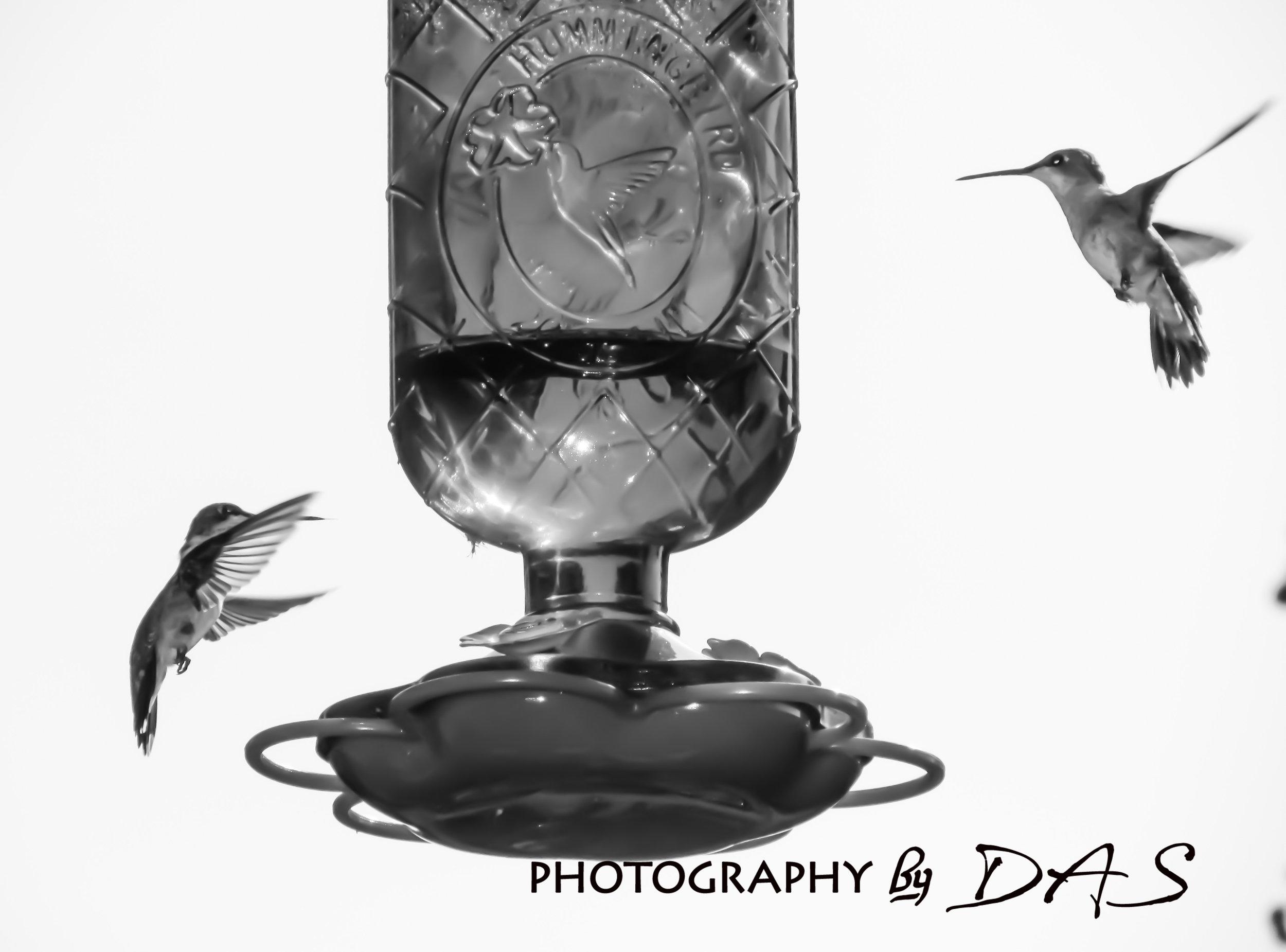 HUMMINGBIRDS BLK WHT.jpg