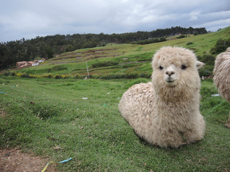 The Peruvian Llama (2014)