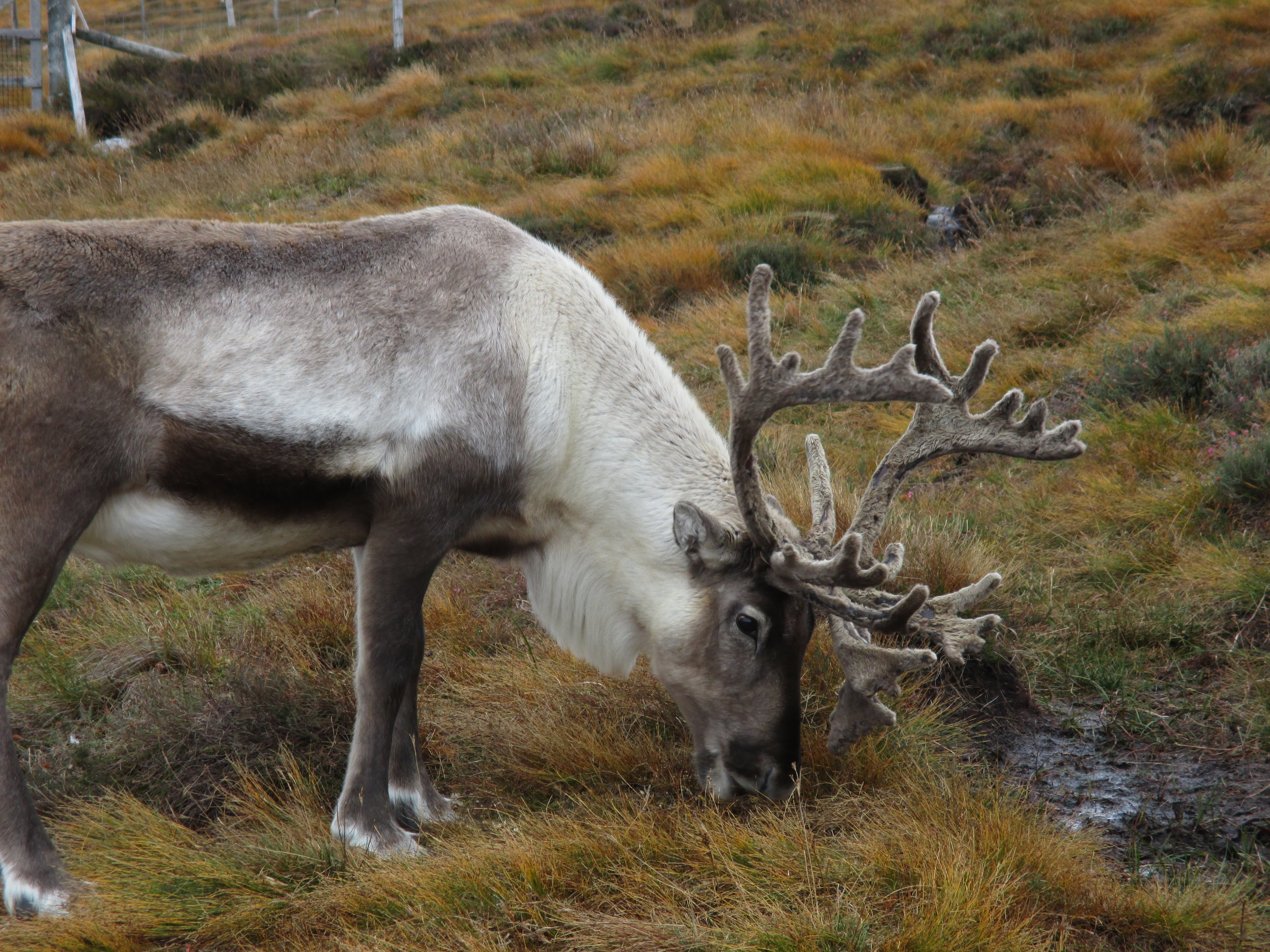 Being with the Reindeer on the land was a favorite outing for our retreat in Sept/Oct. 2018