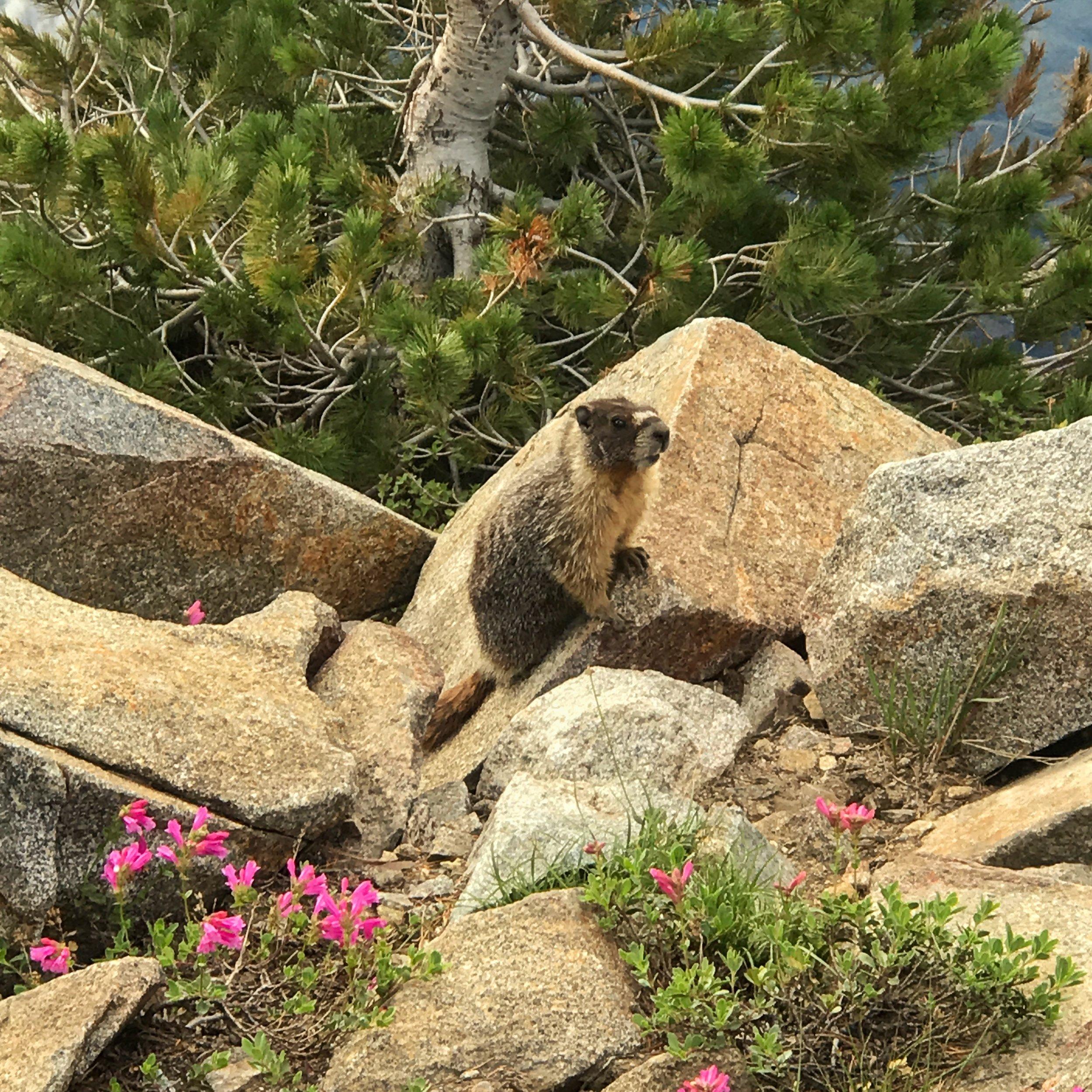 bob, the marmot